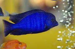 Malawi Blue Dolphin aquarium fish Royalty Free Stock Photos