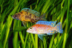 Malawi Cichlid. African Cichlid from Lake Malawi in aquarium royalty free stock images