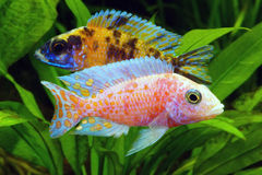 Malawi Cichlid. African Cichlid from Lake Malawi in aquarium royalty free stock photo