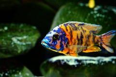 Malawi cichlid akwarium ryba słodkowodna Obraz Stock