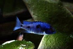 Malawi cichlid akwarium ryba słodkowodna Fotografia Royalty Free