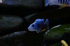 Malawi cichlid akwarium ryba słodkowodna Zdjęcia Stock