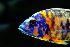 African Malawi cichlid aquarium fish freshwater royalty free stock photography