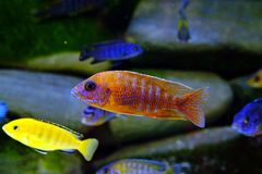Malawi cichlid aquarium fish freshwater stock image