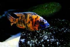Malawi cichlid Aulonocara akwarium ryba słodkowodna Obraz Stock