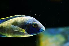 Malawi cichlid Azureus aquarium fish freshwater. Malawi cichlid azureus aquarium fish with black backround and green stones. brillant colors Stock Photo