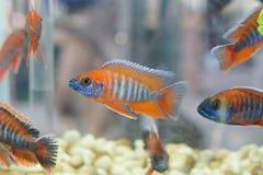 Malawi Cichlid. / Colorful fish in an aquarium Royalty Free Stock Photo