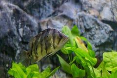 Malawi Cichlid fish  in aquarium Royalty Free Stock Photography