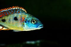 Malawi cichlid Otopharynx tetrastigma aquarium fish freshwater. Malawi cichlid Otopharynx tetrastigma aquarium fish with black backround and green stones Royalty Free Stock Photos