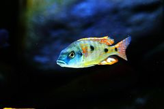 Malawi cichlid Otopharynx tetrastigma aquarium fish freshwater. Malawi cichlid Otopharynx tetrastigma aquarium fish with black backround and green stones Royalty Free Stock Images