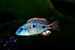 Malawi cichlid Otopharynx tetrastigma aquarium fish freshwater. Malawi cichlid Otopharynx tetrastigma naquarium fish with black backround and green stones Royalty Free Stock Images