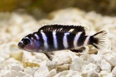 Malawi Cichlid Pseudotropheus demasoni tropical aquarium fish isolated. Fish stock photo
