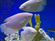Malawi Cichlidae Stock Image