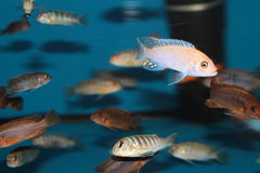 Malawi Cichlids aquarium fishes Royalty Free Stock Photos
