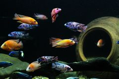 Malawi Cichlids colorful fish in aquarium royalty free stock photography