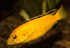Malawi fish royalty free stock photos