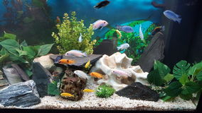 Malawi Tank. This is a shot of a 240 litre aquarium full of colorful  malawi cichlids, decorated with different stones and some plants Royalty Free Stock Images