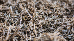 Malawian dried fish (usipa) Stock Photography