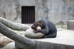 The Malay bear stands is sleeping. Sun bear is a small bear is the smallest animal, bear, is not only a hibernating bear subfamily animal, mainly in Southeast Stock Photo