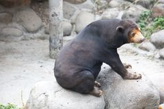 The Malay bear stands on the stone. Sun bear is a small bear is the smallest animal, bear, is not only a hibernating bear subfamily animal, mainly in Southeast Stock Image