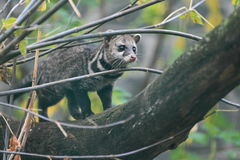 Malay civet Stock Photography