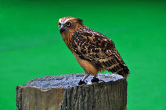 Malay Fish Owl Royalty Free Stock Photo
