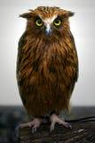 Malay Fish Owl Royalty Free Stock Image
