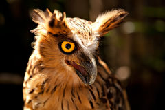 Malay Fish Owl (Bubo ketupu). From the zoo with opened beak Stock Image
