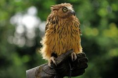 Malay Fish Owl Gazing Stock Image