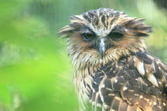 Malay fish owl Stock Images