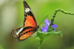 Malay lacewing. The malay lacewing on the plant royalty free stock photos