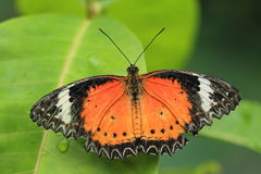 Malay lacewing Stock Image