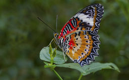 Malay Lacewing Butterfly Stock Photos