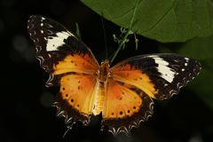 Malay lacewing, Cethosia cyane butterfly Stock Photos