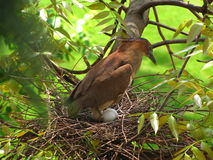 Malay Night Heron Incubate Stock Images