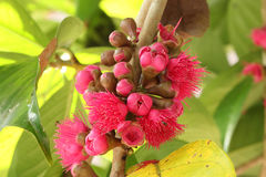 Malay rose apple flower Royalty Free Stock Photos