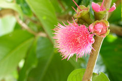 Malay rose apple flower on tree,Malay apple,Pomerac flower . Royalty Free Stock Photos