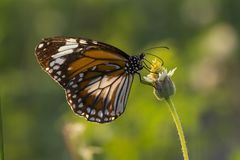 The Malay Tiger butterfly Danaus affinis malayana on flower and green nature. Thailand stock photography