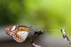 Malay tiger danaus affinis butterfly close up. In the nature stock photos