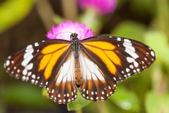 Malay tiger danaus affinis butterfly collecting nectar from flower. And insect pollinator in the nature stock photography