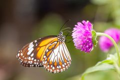 Malay tiger danaus affinis butterfly collecting nectar from flower. And insect pollinator in the nature royalty free stock photography