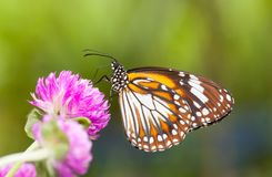 Malay tiger danaus affinis butterfly collecting nectar from flower. And insect pollinator in the nature royalty free stock image