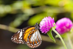 Malay tiger danaus affinis butterfly collecting nectar from flower. And insect pollinator in the nature royalty free stock photo