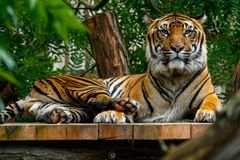 Relaxing tiger in the ZOO. Malay tiger male in Prague ZOO relaxing after lunch on the deck Stock Photos