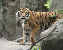 Malay tiger in zoo. Malay tiger walking from behind a boulder in Houston, Texas zoo Stock Photos