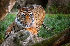 Malay tijger royalty-vrije stock foto's