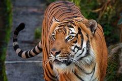 Malay tijger stock foto's