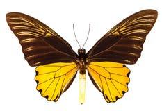 Malaya Birdwing Butterfly Royalty Free Stock Image