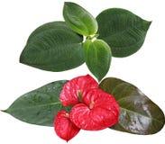 Malayalam and Laceleaf. Melastom Affine leaf and red laceleaf isolated on white background Royalty Free Stock Photo