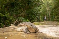 Malayan σαύρα οργάνων ελέγχου νερού, salvator Varanus, που βρίσκεται στο δρόμο, άτομο που περπατά στο υπόβαθρο στοκ εικόνες
